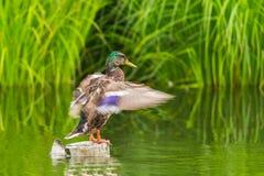 Os platyrhynchos masculinos dos anas do pato do pato selvagem que estão e que movem-se voam Fotografia de Stock