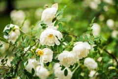 Os plenos verões brancos aumentaram, close up em flores Imagens de Stock