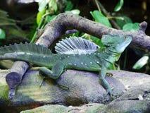 Os plumifrons plumed do Basiliscus do basilisco, o basilisco verde, o basilisco com crista dobro, o lagarto de Jesus Christ ou o  imagens de stock