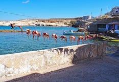 Os polvo são pendurados pelo mar após o travamento e a limpeza em Milos Island, Grécia Fotografia de Stock
