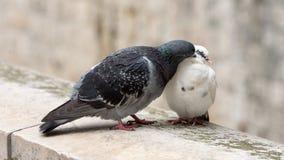 Os pombos fotografia de stock royalty free