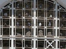 Os pombos Imagens de Stock