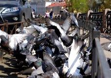 Os pombos aglomeram-se e explosão das asas foto de stock