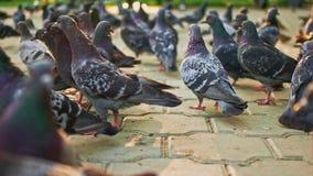 Os pombos aglomeram-se Pomba da cidade no parque filme