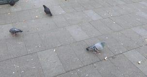 Os pombos bicam o pão no asfalto filme
