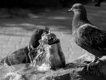 Os pombos da cidade bebem a água em um dia quente em preto e branco Fotos de Stock