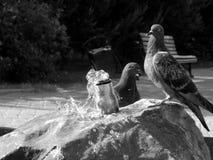 Os pombos da cidade bebem a água em um dia quente em preto e branco Imagem de Stock Royalty Free