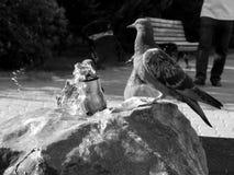 Os pombos da cidade bebem a água em um dia quente em preto e branco Fotografia de Stock