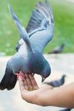 Os pombos domésticos comem o alimento disponível para alimentar os povos Fotos de Stock
