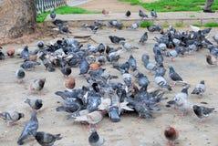 Os pombos estão esperando o alimento em Thesselanoiki Foto de Stock Royalty Free