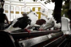 Os pombos estão sentando-se em um banco Imagens de Stock Royalty Free