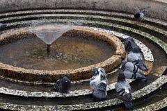 Os pombos estão na fonte refrescam Imagens de Stock