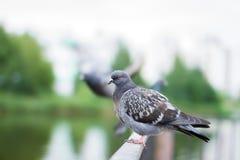Os pombos sentam-se na cerca Foto de Stock