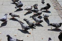 Os pombos urbanos comem a alimentação dispersada por transeuntes fotos de stock royalty free