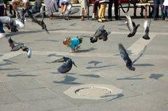 Os pombos voam Foto de Stock Royalty Free