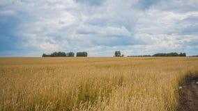 Os pontos do trigo voam no vento Campo de trigo, estrada secundária Foto de Stock