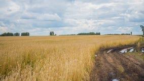 Os pontos do trigo voam no vento Campo de trigo, estrada secundária Imagem de Stock