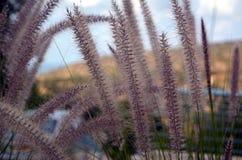 Os pontos selvagens no vento no Hod de Ein fotografia de stock