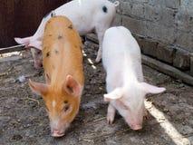 Os porcos Fotografia de Stock Royalty Free