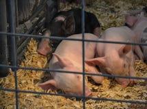 Os porcos bonitos estão dormindo imagens de stock