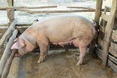 Os porcos da mãe são reunidos para uma caminhada em um cerco de madeira Imagem de Stock