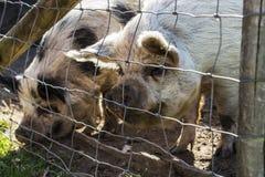Os porcos felizes andam no ar livre, têm o suficiente espaço e podem rolar na lama fotos de stock royalty free