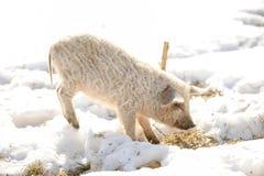 Os porcos pequenos da raça de Mangalci do Hungarian não estão receosos do frio Do mau tempo os leitão são protegidos perto densam imagem de stock royalty free