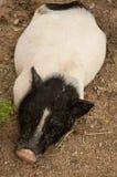 Os porcos pequenos fecham-se acima do fundo Fotografia de Stock Royalty Free