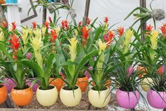 Os potenciômetros de flor coloridos encheram-se com as bromeliáceas coloridas em um greenho Fotos de Stock Royalty Free