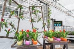 Os potenciômetros de flor coloridos encheram-se com as bromeliáceas coloridas em um greenho Imagem de Stock Royalty Free