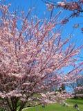 Os povos apreciam as flores de cerejeira da mola no ` s de Toronto, parque alto Fotografia de Stock