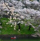 Os povos apreciam as flores de cerejeira no parque imagens de stock