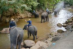 Os povos não identificados banham elefantes no rio de Mae Sa Noi em Mae S Foto de Stock