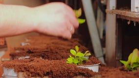 Os povos plantaram plantas em uns potenci?metros no transporte, planta plantaram o close-up das m?os Transporte na estufa vídeos de arquivo