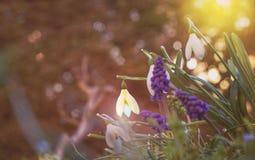 Os primeiro snowdrops de Galanthus das flores da mola e jacinto do Muscari ou do rato imagens de stock royalty free