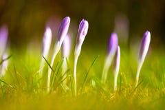 Os primeiros açafrões crescentes florescem no sol do inverno no parque Imagens de Stock