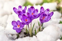 Os primeiros açafrões da neve Imagem de Stock Royalty Free
