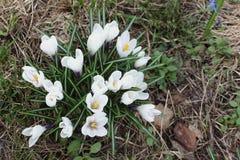 Os primeiros açafrões de florescência na primavera Imagens de Stock