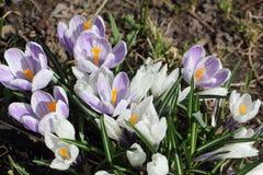 Os primeiros açafrões de florescência na primavera Foto de Stock Royalty Free