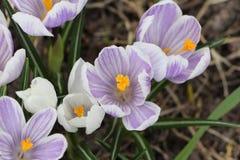 Os primeiros açafrões de florescência na primavera Imagem de Stock Royalty Free