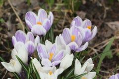 Os primeiros açafrões de florescência na primavera Imagens de Stock Royalty Free