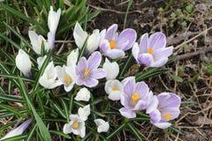 Os primeiros açafrões de florescência na primavera Foto de Stock