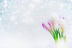 Os primeiros açafrões florescem no fundo claro com a neve tirada, vista lateral Imagens de Stock