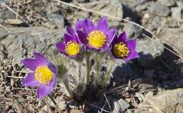 Os primeiros patens do Pulsatilla das flores da mola fotografia de stock