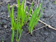 Os primeiros tiros verde-claro aparecem na primavera Foco seletivo imagem de stock royalty free
