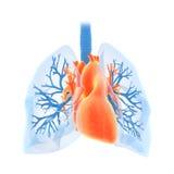 Os pulmões e o coração Fotografia de Stock Royalty Free