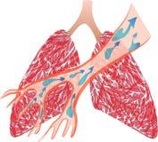 Os pulmões e a traqueia ilustração royalty free