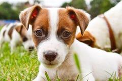 Os puppys pequenos são de passeio e de jogo na rua na grama Imagens de Stock