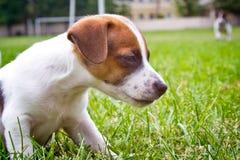 Os puppys pequenos são de passeio e de jogo na rua na grama Imagem de Stock