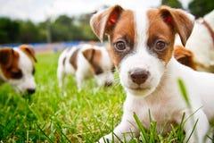 Os puppys pequenos são de passeio e de jogo na rua na grama Imagens de Stock Royalty Free